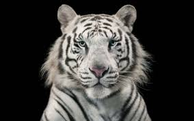 white tiger blue wallpapers for free about 788