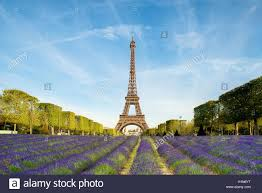 beautiful purple lavender filed with eiffel tower in background in