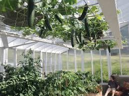 ladybugs as organic pest control homemade food junkie