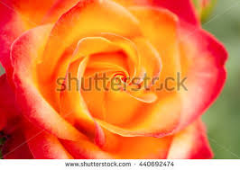 yellow roses with tips tipped yellow roses stock images royalty free images