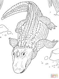 american alligator or common alligator coloring page free