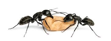 carpenter ant control carpenter ant treatments how to treat