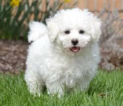 bichon frise therapy dog bichon frise puppies by design online