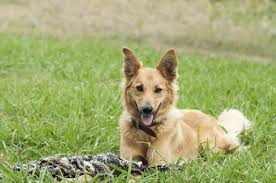 Types Of Dogs Do You Know Numerous Types Of Strong And Sturdy Shepherd Dogs
