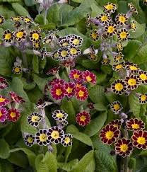 primrose u0027victorian laced plants with showy tricolor flowers