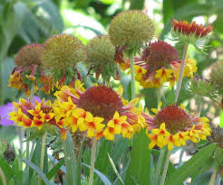 24 best native iowa plants images on pinterest native plants blanket flowers plant care and collection of varieties garden org