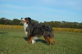 australian shepherd cost american stock dog registry american stock dog registry