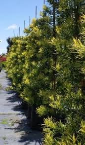 japanese yew pine trees for sale always green trees big tex