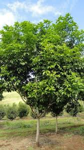 Good Backyard Trees by 12 Best Shade Trees Images On Pinterest Shade Trees Native