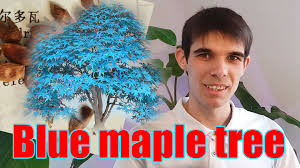 bonsai blue maple tree seeds germinated seeds of mandarin youtube