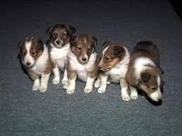 belgian sheepdog breeders in new york shetland sheepdog puppies in new york