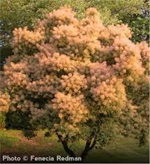 buy affordable smoketree trees at our nursery