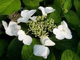hydrangea white white lacecap heads of flowers large plants