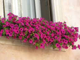 blumen fã r balkon fantastischer blumenkasten für den balkon mit rosa blumen jpg
