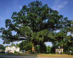 Tree The Wye Oak And The Birth Of The Big Tree Program American Forests