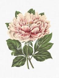 peony flower peony flower pink tree peony botanical illustration