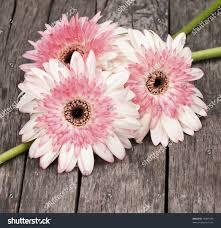 three gerbera daisies arranged on vintage stock photo 70957249