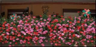 geranien balkon mein kleiner garten in 2005