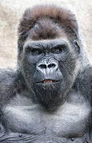 best 25 gorilla gorilla ideas on pinterest monkeys baby
