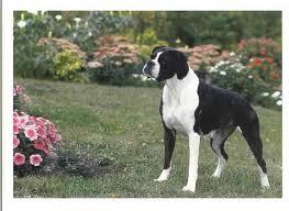 boxer dog reverse brindle omg black white boxer puppies kirateria