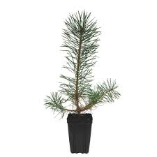 pine tree trees trees bushes the home depot