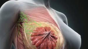 Female Breast Anatomy And Physiology Basic Anatomy Of Breast Tissue Youtube