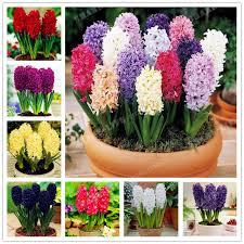 hyacinth flower true hyacinthus orientalis seeds color mixing hyacinth flower