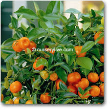 buy ornamental orange green leaves plant buy 6000