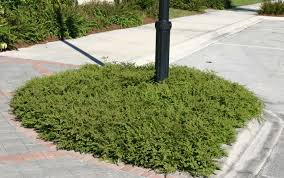 florida native plants pictures creeping and clumping ground covers for south florida gardens and
