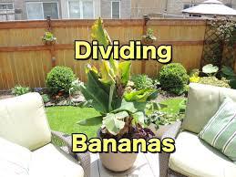 dividing and transplanting dwarf banana youtube