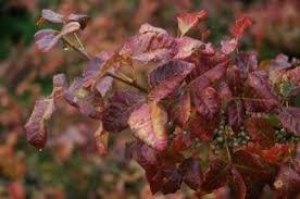 fall foliage beautiful poison oak western oregon