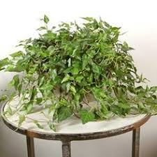 adiantum hispidulum u0027bronze venus u0027 houseplants pinterest