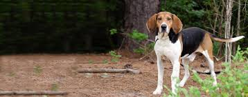 bluetick coonhound exercise american english coonhound dog breed health history appearance