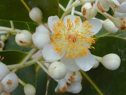 madagascar native plants calophyllum inophyllum wikipedia