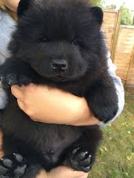 23 chubby puppies mistaken for teddy bears