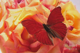 butterfly on roses photograph by ruby hummersmith
