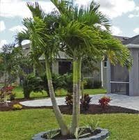 palm trees for sale palmetto fl three seasons