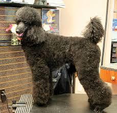 standard poodle hair styles standard poodle in a dutch groomer to groomer pet grooming