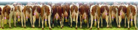 montbeliarde uk a profitable breed of cattle