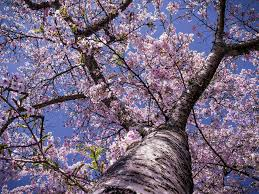 free photo cherry blossom tree bloom free image on pixabay