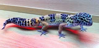 halloween mask leopard gecko 58301d1333208660 male leopard gecko sale northumberland leopard