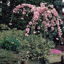 buy prunus flowering cherry collection j bulbs