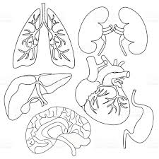 coloring set of organs of human heart lungs liver kidneys stock