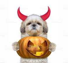 cute dog with pumpkin in devils costume for halloween stock photo
