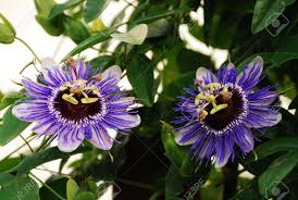 two purple haze passiflora flower an evergreen tendril climbing