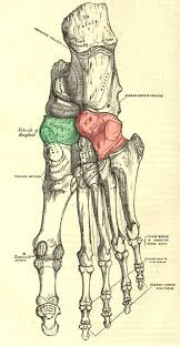 Foot Surface Anatomy Behind Aotw Blog Archive Dr Howard And Hooker U0027s Foot