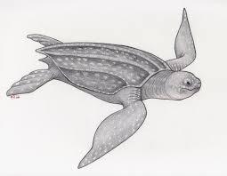 drawn sea turtle leatherback turtle pencil and in color drawn