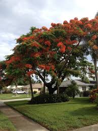 fast growing florida trees top 30 fastest growing trees for your