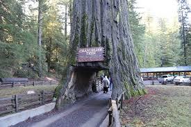 Chandelier Drive Through Tree World Famous Chandelier Tree California Curiosities