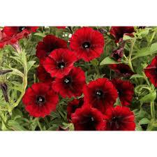 petunia flowers proven winners 4 25 in supertunia black cherry petunia live